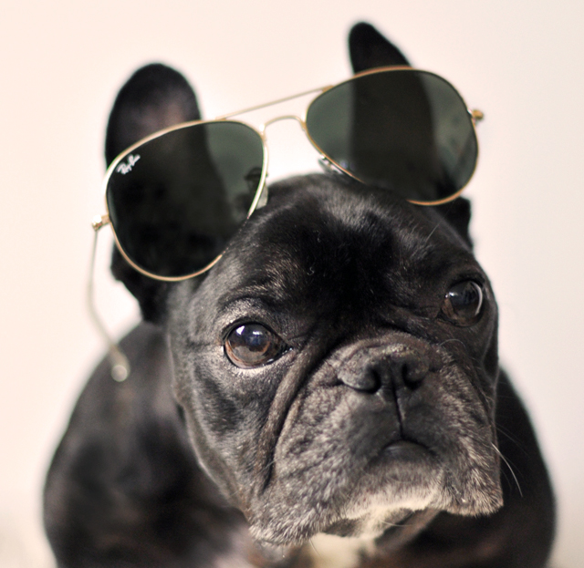 Aviators on French Bulldog